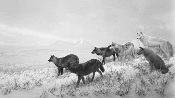 Hiroshi Sugimoto - Lobos de Alaska, 1994, impresión a la gelatina de plata