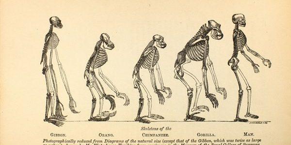 """Thomas Huxley - Ilustración del libro """"Evidence as to Man's Place in Nature"""" de 1863. Thomas Huxley (Middlesex, 1825 – Sussex, 1895) fue conocido como el Bulldog de Darwin por su defensa acérrima de la Teoría de la Evolución. Famosa fue su fras en su debate con el obispo de Oxford """"prefiero descender de un simio antes que de un obtuso como usted""""."""