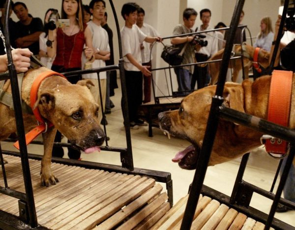 Sun Yuan and Peng Yu - Dogs Which Cannot Touch Each Other (Los perros no pueden tocarse unos a otros), 2003. Secuencia del vídeo.